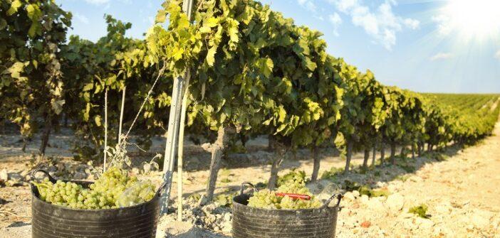 Der Verdejo: fruchtiger, nussiger Weisswein aus Rueda