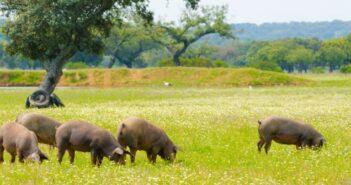Iberische Schweine: leckere Rezepte mit Sherry, Portwein & Co.