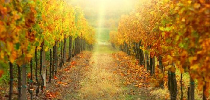 Weinrallye #80: Die Weinlese 2014