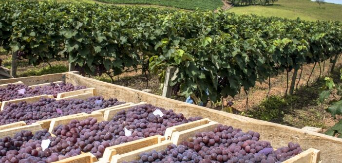 Weinbau in Molwanien: Wein aus Molwanien