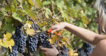 Nicht nur zur Weinernte ist das Piemont eine Weinreise der Superlative.