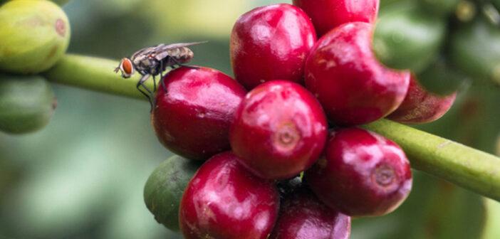 Kirchessigfliege Bekämpfung: Gefahr für den Wein