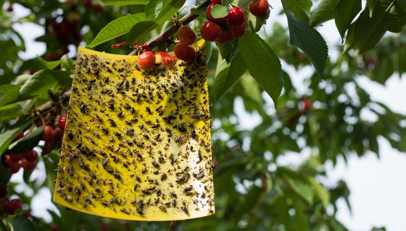 Die Kirschessigfliege, lateinisch Drosophila suzukii, zeigte sich in einer besonders großen Häufigkeit erstmals 2014. Sie wurde als kurz vor der Weinlese auftretender Schädling identifiziert, der sich bevorzugt auf weichschaligem Obst wie Trauben, Beeren, Pflaumen, und Pfirsichen niederlässt. (#01)