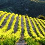 Französischer Wein aus dem Vaucluse: unbedingt probieren!