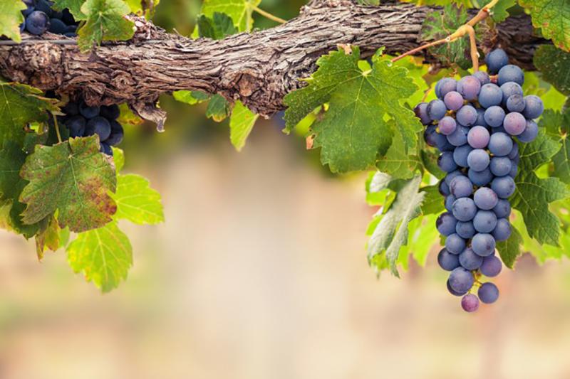Sind die Traubenwickler Pheromonfallen rechtzeitig befestigt worden und auch sonst alle Schädlinge auf natürliche Weie bekämpft, steht wunderschönen Reben und Trauben und demzufolge leckerem Wein nichts im Wege. (#3)