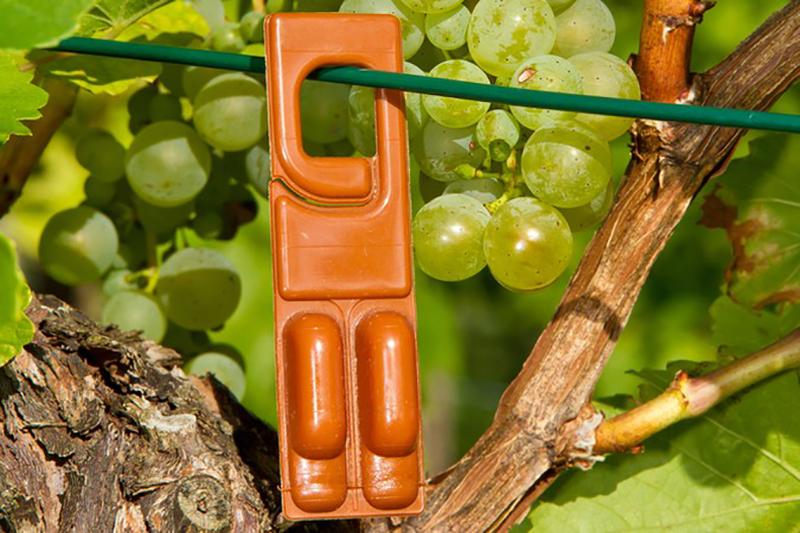 Mit den Traubewickler Pheromonfallen können Winzer die fiesen Schädlinge auf natürliche Weise bekämpfen. So klein der Traubenwickler ist, so groß sind die Schäden, die er am Wein hinterlassen kann. (#1)