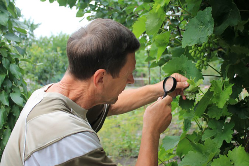 Abgesehen von den Traubenwickler Pheromonfallen, kontrolliert der Winzer regelmäßig seine Weinstöcke, Weinreben und Weintrauben auf einen möglichen Schädlingsbefall. (#2)