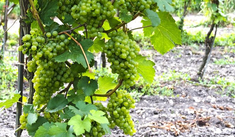 Das wird am Beispiel des grünen Veltliners deutlich. Dieser gilt allgemein als ein autochthoner Wein Österreichs. Sein Ursprung liegt jedoch im Burgenland, das bis 1920 zu Ungarn gehörte.