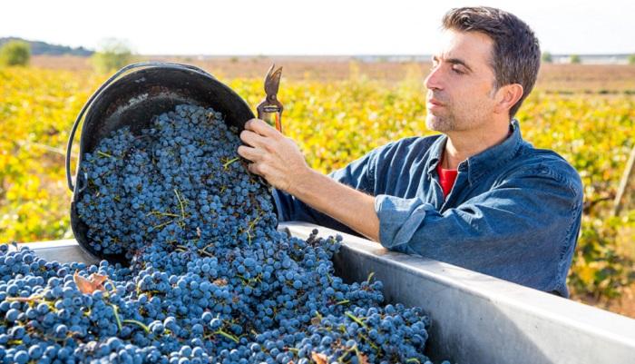 Die Ernte der Trauben ist ein einzigartiges Event (bFoto: Shutterstock- lunamarina )